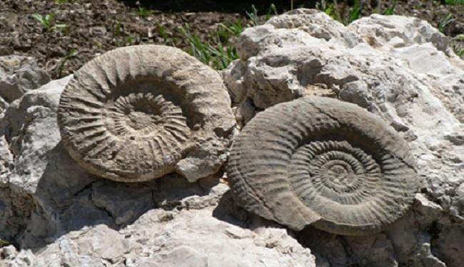 Ammonites 2